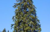 Cytospora kanker behandeling voor vuren bomen
