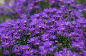 Soorten bloemen te planten in oktober