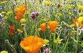 How to Plant Wildflower zaden