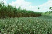 Verschillende soorten suikerriet