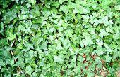 Hoe de zorg voor Engels Ivy in de Winter