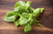 How to Grow basilicum uit stekken