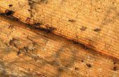 How to Get Rid van zwarte mieren in Florida