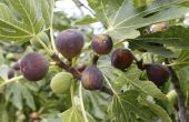 Ziekten van de vijgenboom