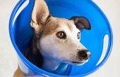 Hoe maak je een hond hoofd kegel om te voorkomen dat de wond likken