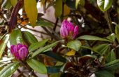 Rhododendron probleem met bruine bladeren