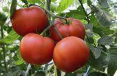 Hoe om te controleren of tomaat bloeit Bear Fruit