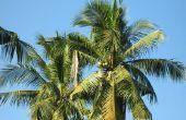 De groeifasen van een kokosnoot Palm Tree