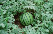 Mijn watermeloenen sterven op de wijnstok