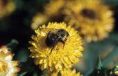 Carolina jasmijn bloemen giftig voor bijen zijn?