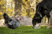 Hoe een hond kennismaken met huisdier kippen