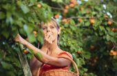 Soorten abrikoos bomen