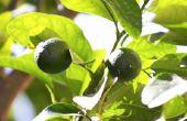 Hoe te doen herleven van een stervende Citrus Tree