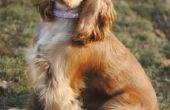 Hoe schoon een Dog's oren met toverhazelaar