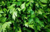 Is koriander een vaste plant kruid?
