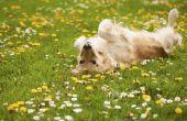 Hoe honden Benadryl geven voor allergieën