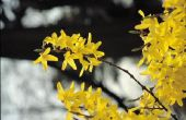 Hoe te identificeren voorjaar bloeiende bomen in Wisconsin