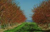 How to Grow Reinier Cherry bomen