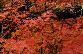 De verschillen tussen de Bloodgood Japanse esdoorn en het rechtop rood
