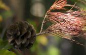 Japanse ceder boom feiten