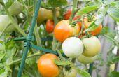 Hoe om te oogsten van tomaten zaden voor opplant