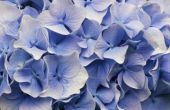 Hoe te snoeien Nikko blauwe hortensia's