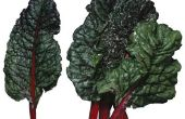 Rabarber Plant vs. Zwitserse rode snijbiet Plant