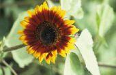 Hoeveel zonnebloemen voor een vierkante voet?