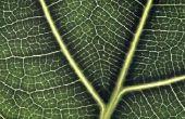 Hoe de zorg voor viool blad Fig Plant