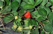 Welk seizoen aardbeien groeien?