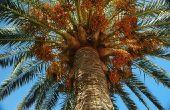 Hoe maak je een klas palmboom