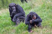Hoe maak je een chimpansee Model voor kinderen