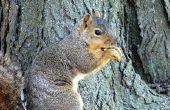How to Kill eekhoorns met vallen