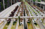 Wat planten kan worden gekweekt hydrocultuur