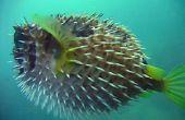 How to Make Porcupine vis projecten voor School