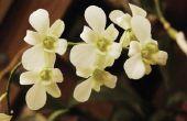 De betekenis van een witte orchidee