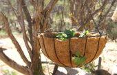 Hoe om te groeien aardbeien in een hangende mand