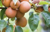 PEAR bomen voor warme klimaten
