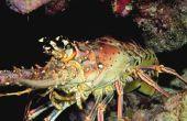 Hoe te vangen Rock kreeften in het Caribisch gebied door snorkelen