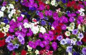 How to Grow Petunia 's