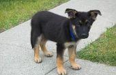 How to Train een Duitse herder pup om te leven met een kat