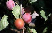 Hoe om te verhinderen dat vogels eten van pruimen op bomen