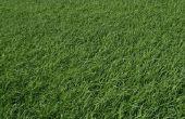 How to Grow gras zonder zaad