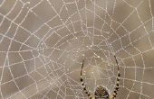 Tekenen & symptomen van de beet van een spin in een Baby