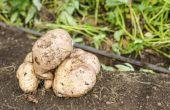Zal mijn zoete aardappel wijnstokken groeien terug volgende voorjaar?
