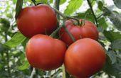 Hoe te repareren van een gebroken tomatenplant