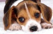 How to Stop van een hond oor geur
