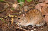 Essentiële oliën voor muizen vangen