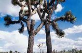 Aanpassingen van de Yucca Plant