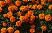 Bloemen die weg Bugs te houden